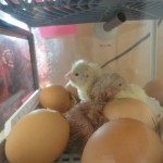 Class R's chickens hatching